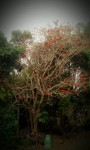 chadston tree